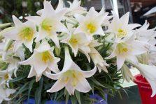 Mơ thấy hoa loa kèn điềm báo điều gì